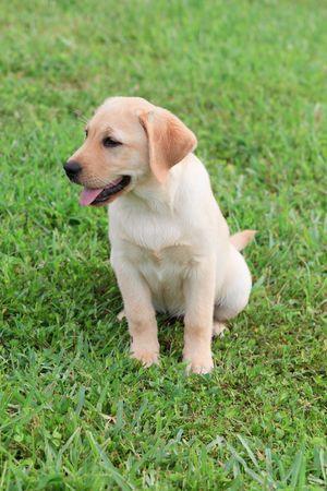 labrador puppy: Yellow Labrador Puppy