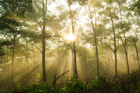 Foggy Morning at Rubber Plantation in Borneo