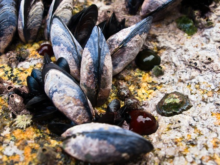 mussels anemones and algae on rock photo