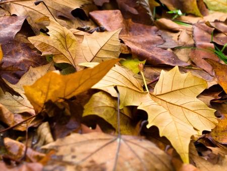 colored oak leaves autumn  Stock Photo