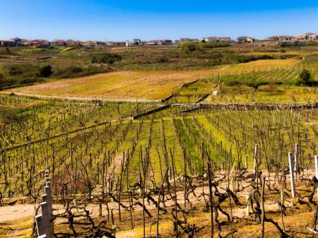 galicia: Vineyards in O Ribeiro Galicia