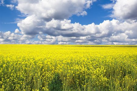Rape Field and stormy clouds Stock Photo - 1125687