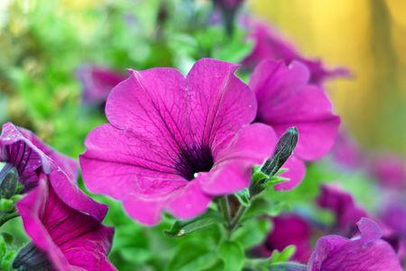 Close-up shot of Petunia flower