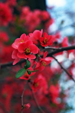 Red blossoms during spring time photo