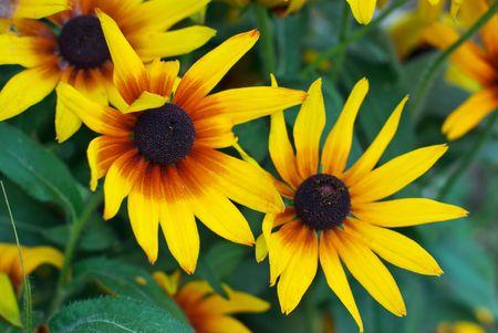 Gelbe Blumen im Garten  Standard-Bild