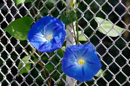 Beautiful Morning Glory-Bloom, die Farben blau und weiß anzeigen  Standard-Bild