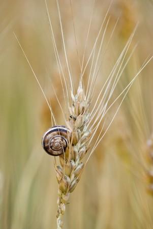 Wenig Schnecke auf Ohr von Weizen  Standard-Bild