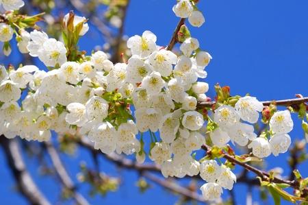 Cherry blüht über Cler blauen Himmel