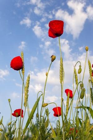 Mohn und Weizen über blauer Himmel