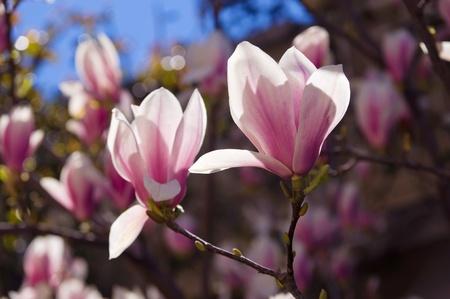 Magnolia Blüten Hintergrundbeleuchtung Standard-Bild