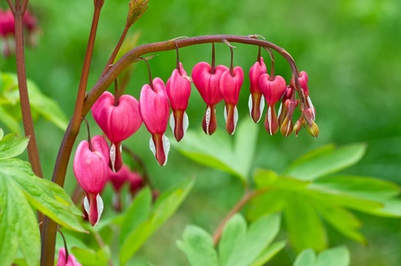 bleeding: Bleeding Heart flower (Dicentra spectabilis) Stock Photo