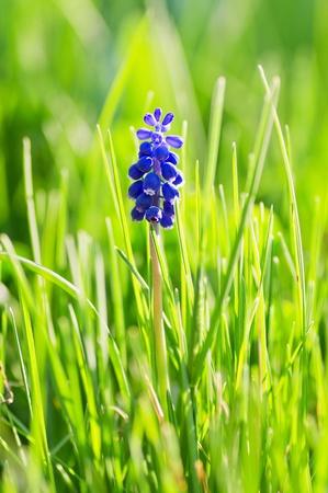 Muskari Blume (Traubenhyazinthe) in das Gras mit Hintergrundbeleuchtung