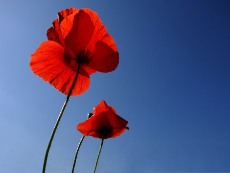 Poppies über blauen Himmel