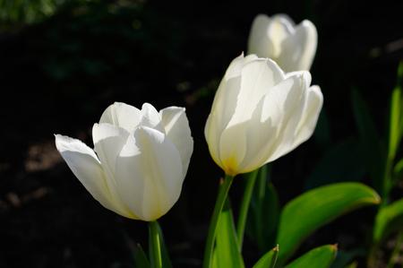 white tulips on a black background Standard-Bild