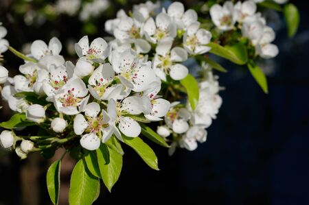 Pear tree blossoms in the spring orchard garden