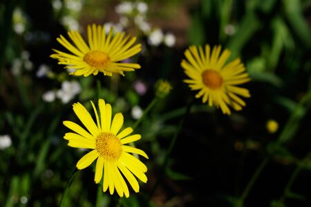 Bright yellow flowers of Doronicum orientale, or leopards bane.
