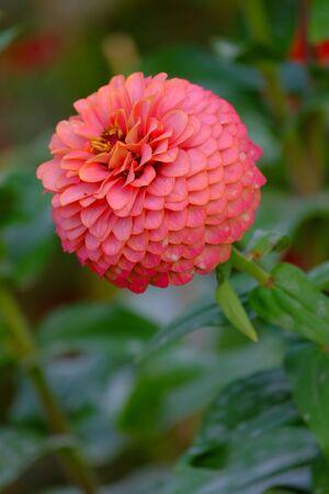 Orange dahlia Flower in the garden