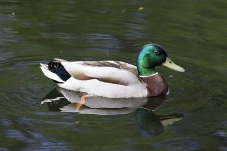 drake: duck ,drake
