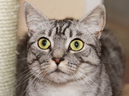 shorthaired: cat, british short-haired