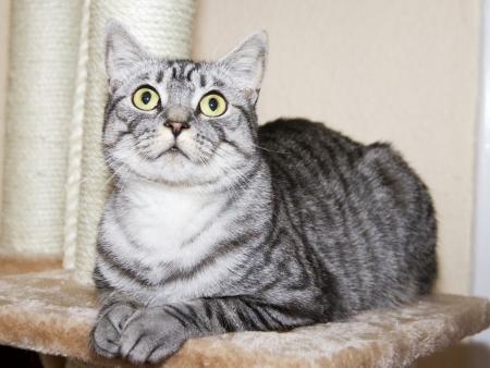shorthaired: gato brit�nico de pelo corto
