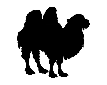 hunch: The black silhouette of a bactrian camel on white Illustration