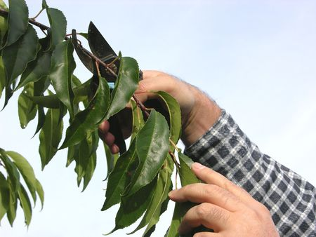 secateurs: Cutout of a hand with secateurs cutting branch