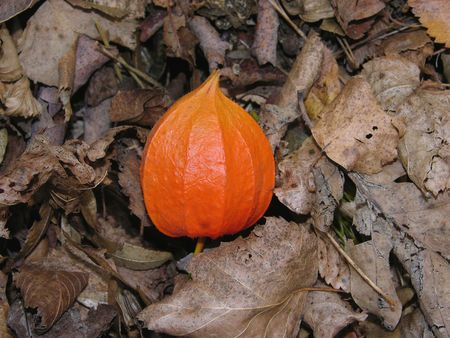 alkekengi: Orange lantern of Physalis alkekengi on brown autumn leaves Stock Photo
