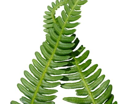brake fern: Two green crossed frond ferns as background Stock Photo