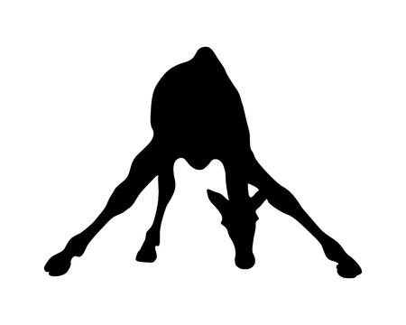 giraffa: Ilustraci�n detallada y aislada de la jirafa de mam�fero