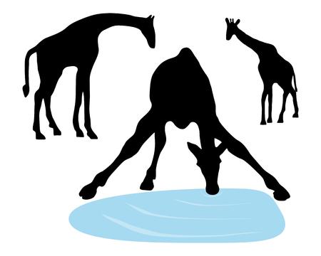 giraffa: Ilustraci�n detallada y aislado de jirafas beber