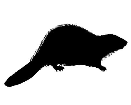 castoro: Beaver nero