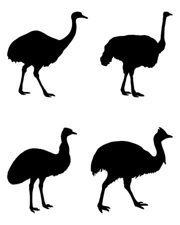 cassowary: Ratites of the world  Illustration