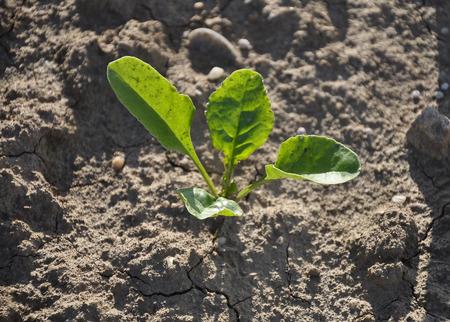 vulgaris: Sugar beet plant (Beta vulgaris subsp. vulgaris)
