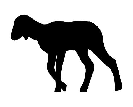 lambkin: Lamb on white
