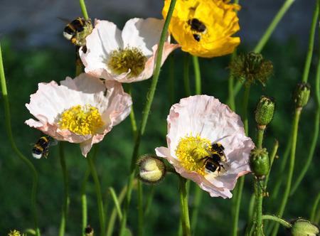bombus: Iceland poppy with bumblebees Stock Photo