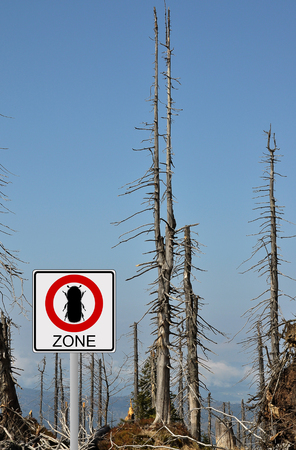 alpine zone: Bark beetle zone at mount Rachel