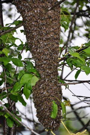 mellifera: Swarm of bees