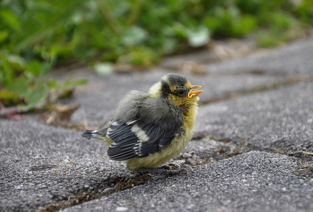 cyanistes: Young blue tit Stock Photo