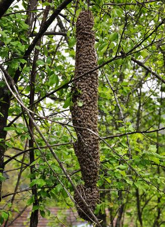 swarm: Swarm of bees
