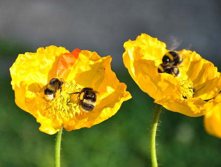 Iceland poppy with bumblebees Stock Photo