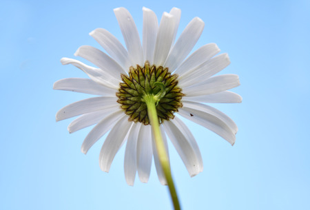 Oxeye daisy at blue sky