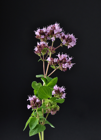 Oregano on black background Stock Photo