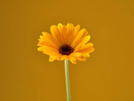 Common marigold on yellow background