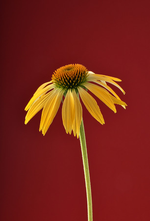 Yellow coneflower on red background stock photo picture and royalty stock photo yellow coneflower on red background mightylinksfo