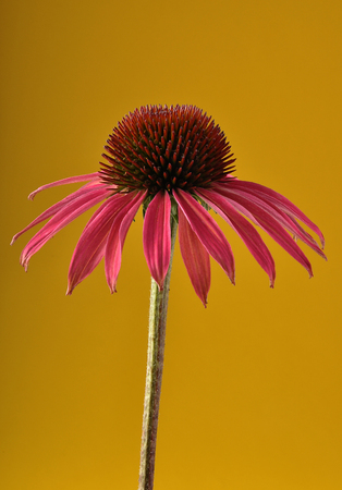 Red coneflower on yellow background