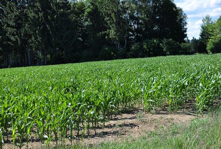Young maize at edge of the forest