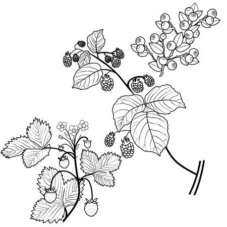 frutos rojos: Las bayas silvestres Vectores