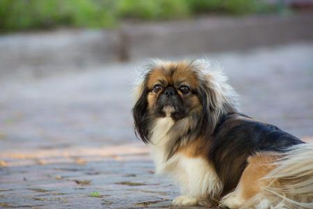 石畳の道に茶色と黒ペキニーズ犬