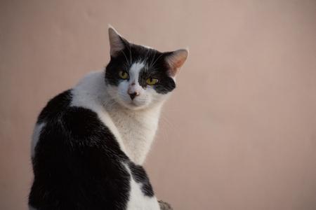 黄色目の黒と白の猫 写真素材