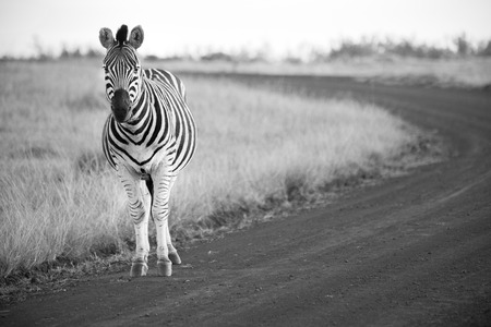 field stripped: Zebra stands on a dirt road in black and white Stock Photo